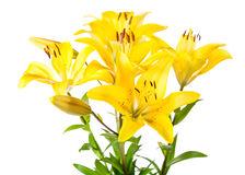 mazzo-dei-gigli-gialli-56875869