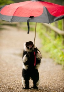 """Mandatory Credit: Photo by DZG / Rex Features (1755007b) Light-fingered Lemur Beats The Rain With Umbrella Rain didn't stop play for this cheeky black-and-white-ruffed lemur at Dudley Zoological Gardens (DZG) on Thursday (21 June). The savvy small primate grabbed an umbrella from a visitor to the site's Lemur Wood - home to more than 30 free-roaming lemurs - and set off for a wander around the one-acre paddock at the Midlands' leading tourist attraction. DZG Head of Media and Communications, Jill Hitchman, said: """"Lemurs love to play out in the trees and meadows, but this week's torrential downpours have put a dampener on their antics. """"However, yesterday one of the black-and-white-ruffeds spied an opportunity for fun, grabbed an umbrella from a visitor and made a dash for it. """"He carried it around for a while but abandoned the brolly when a gust of wind almost blew him over."""" MUST CREDIT: DZG/Rex Features For more information visit http://www.rexfeatures.com/stacklink/IRIYULJLL"""