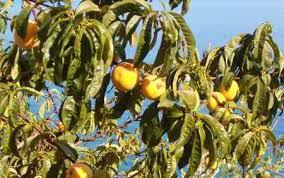 albero-di-limone