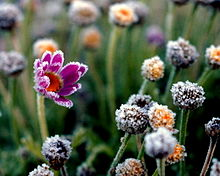 frosted_flower