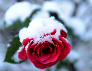 roses-in-winter